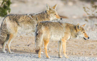Keep your pets safe from Coyotes with a fence